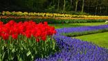 สวนเคอเคนฮอฟ (เทศกาลดอกทิวลิป)