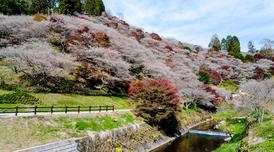 ทัวร์ญี่ปุ่น โอซาก้า โตเกียว 6 วัน 4 เทศกาลชมใบไม้เปลี่ยนสีพร้อมซากุระ เทศกาลโมมิจิไคโร คืน TG