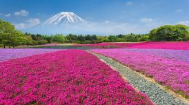 ทัวร์ญี่ปุ่น โตเกียว 5 วัน 3 คืน ภูเขาไฟฟูจิชั้น 5 เทศกาลดอกชิบะซากุระ บิน XW