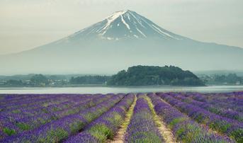 ทัวร์ญี่ปุ่น โตเกียว 5 วัน 3 คืน ทุ่งดอกลาเวนเดอร์ ขึ้นภูเขาไฟฟูจิชั้น5(ขึ้นอยู่กับสภาพภูมิอากาศ) บิน XJ