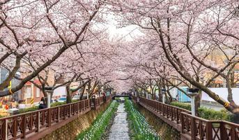ทัวร์เกาหลี ปูซาน โซล 5 วัน 3 คืน เทศกาลดอกซากุระบานจินแฮ สวนสนุกเอเวอร์แลนด์ บิน KE