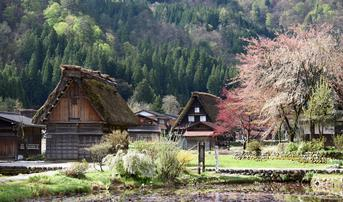 ทัวร์ญี่ปุ่น นาโกย่า ทาคายาม่า โตเกียว 5 วัน 4 คืน หมู่บ้านชิราคาวาโกะ ทุ่งดอกพิงค์มอส บิน SL