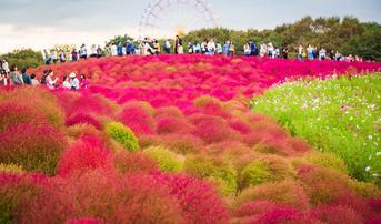 ทัวร์ญี่ปุ่น โตเกียว 5 วัน 3 คืน ภูเขาไฟฟูจิชั้น 5 ชมทุ่งโคเคียสวนฮิตาชิซีไซด์พาร์ค บิน SL
