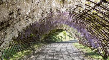 ทัวร์ญี่ปุ่น ฟุกุโอกะ 5 วัน 3 คืน ยูมิจิโกกุ อุโมงค์ดอกวิสทีเรียสวนคาวาชิฟูจิ บิน SL