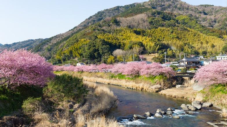 เทศกาลดอกซากุระเมืองคาวาสึ