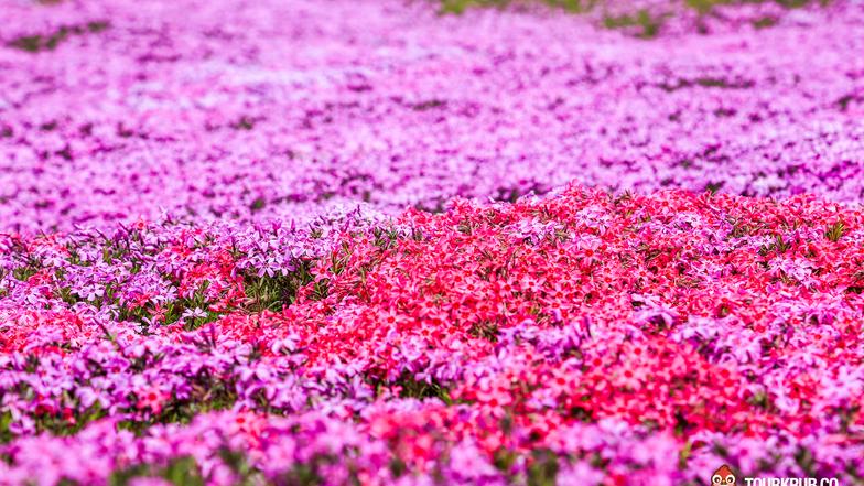 ทัวร์ญี่ปุ่น ฮอกไกโด ซัปโปโร 5 วัน 3 คืน ชมดอกทิวลิป ชมดอกพิงส์มอส(ชิบะซากุระ) ชมซากุระ ณ อนุสรณ์สถานโทดะ  บิน ไทยแอร์เอเชียเอกซ์