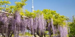ทัวร์ญี่ปุ่น โตเกียว 5 วัน 3 คืน ภูเขาไฟฟูจิชั้น5 หมู่บ้านเยอรมันแห่งโตเกียว ชมดอกวิสทีเรียศาลเจ้าคะเมอิโดะเท็นจิน บิน TR